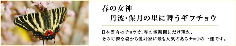 春の女神 丹波・保月に舞うギフチョウ