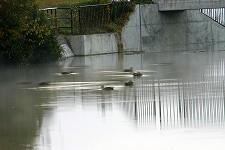 新池にカモ飛来